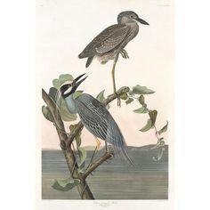 Yellow-crowned Heron – Princeton Audubon
