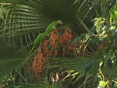 Olive Throated parakeets at Hamanasi in Belize.