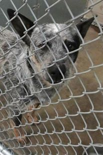 CODE RED/EUTH LISTED CAN BE PTS ANYTIME *~*~*NEEDS OUT OF BUILDING ASAP*~*~* *WANT TO RESCUE/FOSTER/ADOPT? - PM PAGE!*  CAGE 47 - PRIMO Blue Merle Heeler; Male 2 Years IMPOUND 12/9/13 | DUE OUT 12/16/13 @ 7 AM PRIMO'S PLEDGE TOTAL: 50 https://www.facebook.com/photo.php?fbid=231905330310805&set=a.211174685717203.1073741846.176246809209991&type=3&theater