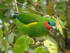 Double-eyed Fig-parrot (Cyclopsitta diophthalma) 1 bird feeding in a tree
