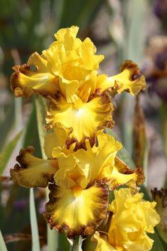 Tall Bearded Iris 'Core Values'