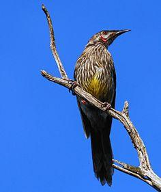 Bird Identification of Australian Birds - Sydney and Blue Mountains Bird Species - Red Wattlebird - Anthochaera carunculata