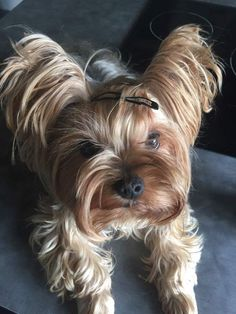 Pretty Animals, Cute Animals, Baby Animals, Baby Dogs, Pet Dogs, Doggies, Cute Puppies, Dogs And Puppies, Yorshire Terrier