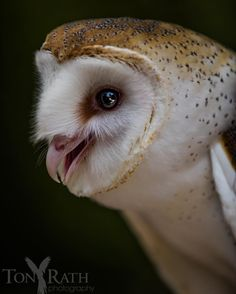 "Closeup of ""Happy"", a barn owl rescued and raised at the Belize Zoo Tony Rath photography"