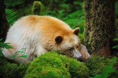 Le grand sommeil : Les ours hivernent pendant 4 mois environ, jusqu'à l'arrivée des beaux jours. Ce sommeil n'est pas continu, et si la femelle a mis bas pendant cette période, elle se réveille pour nourrir et laver ses petits.