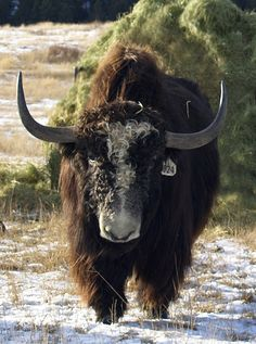 Yak ranch in Montana Primates, Mammals, Mount Everest, Animals With Horns, Musk Ox, Rhodesian Ridgeback, Manx, Leopards, Impala