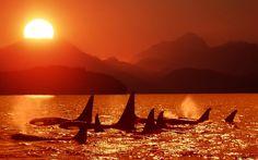 orcas | Orcas killer whales widescreen wallpaper | Wallpaper