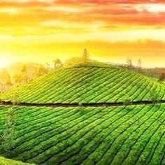 Tea field for a Tuesday. #tea