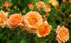 Die orange-lachsfarbene Rose 'Bentheimer Gold' hat das ADR-Prädikat und ist besonders widerstandsfähig gegenüber Blattkrankheiten