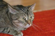 FALANDO DE VIDA!!: Os gatos e a toxoplasmose