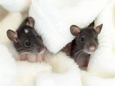 Little Rats - null