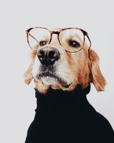 This Golden Retriever is the most professional.   www.bullymake.com