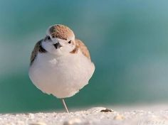 Puffed plover