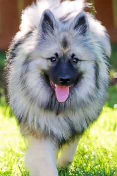 Keeshond is a friendly, fluffy breed originated from Holland. Keeshonds are incredibly adaptable dogs and will do just as well roaming around a farm as they will in an apartment. The Kees needs a regular amount of exercise, so a walk or jog a couple of times a day will be required.