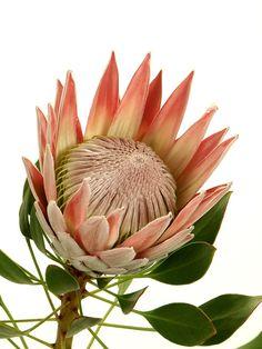 Protea Plant, Protea Flower, Flower Close Up, Language Of Flowers, Crafty Craft, Exotic Flowers, Something Beautiful, Flower Art, Flower Arrangements