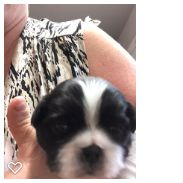 Litter of 4 Japanese Chin puppies for sale in SALEM, OR. ADN-63574 on PuppyFinder.com Gender: Male. Age: 2 Weeks Old