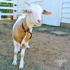 GUESS WHO! . . . . . . . . It's Baby Fry, big-girl horns and all! . #faintinggoats #myhowfasttheygrow #GatherDiscoverCelebrate