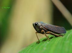 leafhopper / เพลี้ยจั๊กจั่น by bug eye :) Thailand