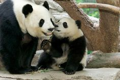 Panda cub Xiao Liwu and his mom (Bai Yun) at the San Diego Zoo. Loved seeing them!