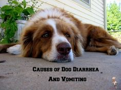 Causes of Dog Diarrh