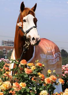 Apache Cat at Flemington (Living Legends) Most Beautiful Animals, Beautiful Horses, Horse Mane Braids, Sport Of Kings, Thoroughbred Horse, Racehorse, Clydesdale, Living Legends, Courses