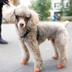 Max, a toy poodle, has shoes strapped on for a walk through Washington Square Park.