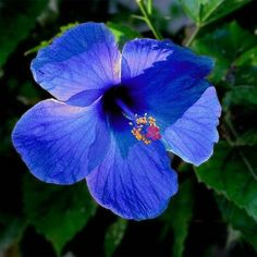 25 Most Beautiful Blue Flowers - Blue Hibiscus flowers are rare to be found and look exotic in shape and colour. Hibiscus in general - Tropical Flowers, Hawaiian Flowers, Hibiscus Flowers, Exotic Flowers, Amazing Flowers, Beautiful Flowers, Cactus Flower, Blue Hawaiian, Purple Flowers