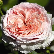 James Galway Rose. A superb, large shrub with long, slightly arching, almost thornless growth. Tough, disease-free. Repeating bloom.  5 ft. x 3.5 ft. (shrub); 10 ft. (climber) 2014 price $25