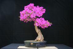 Bazar de Bonsai.com - La naturaleza en tu casa... Un servicio de Bazar de Plantas