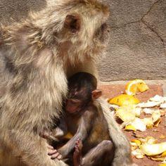Apes in Gibraltar