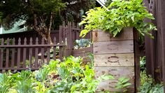 5 Potato Box Mistakes You're Making Avoid these errors to ensure bountiful spuds at harvest time. Grow Potatoes In Container, Planting Potatoes, Planting Vegetables, Container Plants, Growing Vegetables, Vegetable Gardening, Container Gardening, Organic Gardening, Veggies