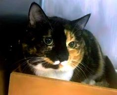"""ABIGAIL - A1089404 - - Brooklyn   *** TO BE DESTROYED 09/16/16 *** OWNER HAS NO TIME ANYMORE FOR ADORABLE ABIGAIL…..""""She has been around a 9 year old child and was relaxed and affectionate with them, but also plays somewhat rough. She enjoys being brushed and picked up, and doesn't mind when disturbed while sleeping. She was described as friendly, affectionate, playful, shy, and quiet with a medium activity level. She tends to stay in her favorite spot at home"""