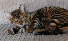 Queenanne Cats - Toyger Stud Cat Breeder in Bromsgrove, West Midlands