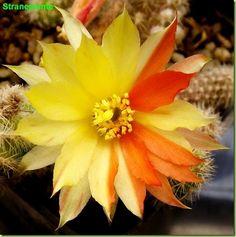 Echinopsis chamaecereus Harlekin fiore giallo rosso 2° anno