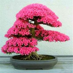 he word bonsai is most closely associated by most with the growing of miniature trees, and although this is somewhat accurate, there is a lot more to it than that. A bonsai is not a genetically overshadowed plant Bonsai Acer, Wisteria Bonsai, Bonsai Seeds, Bonsai Plants, Bonsai Garden, Patio Plants, Bonsai Azalea, Tree Seeds, Potted Plants