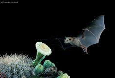 bat_LLN_TuttleBCI01.jpg (801×546)