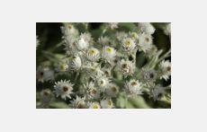 Anaphalis triplinervis ( immortelle vivace) achat/vente en ligne en Suisse