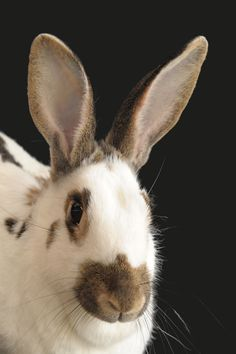 A Black Eyes Greeting Card for every day featuring a bunny rabbit looking front forward with its ears upright, white fur, brown nose and ears and a dark spots, dark whiskers and large black eyes. Animal Cards, Dark Spots, Horns, Greeting Cards, White Fur, Eyes, Bunny Rabbit, Large Black, Prints