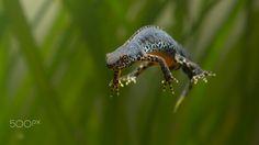 Zero Gravity - A male newt underwater