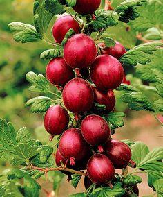 Krusbär på stam 'Hinnonmäki Röd'   Frukt & grönt   Bakker Holland