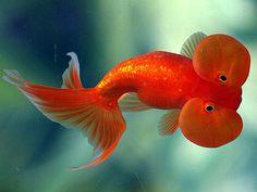 Tropical Fish and Freshwater Fish for Sale in Baton Rouge, Louisiana Bubble Eye Goldfish, Goldfish Care, Goldfish Types, Oranda Goldfish, Freshwater Fish For Sale, Freshwater Aquarium Fish, Pretty Fish, Beautiful Fish, Discus Fish