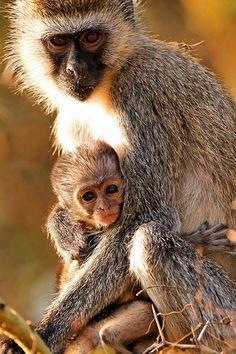 Vervet monkey in Lake Manyara National Park, Tanzania.