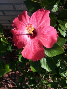 So pretty! Love my own hibiscus trees.