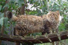 www.razasdegato.net gato-bosque-de-noruega Animals, Norway, Vikings, Woods, Gatos, Animales, Animaux, Animal, Animais