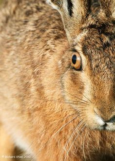 Summer Hares Many people would associate the hare with a symbol of Spring but I have found it can be very productive photographing them in. March Hare, Rabbits, Puppy Love, Woodland, Wildlife, Creatures, Moon, Puppies, Nature