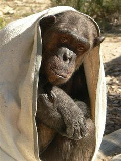 Chimps just love blankets! Another 'Yoda', this one is Peggy, she lives at AAP Primadomus, in Alicante, Spain.  Photo: Sergio Blanes Fraces (caregiver)