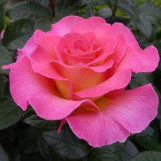 Pink Paradise:  Hybrid Tea