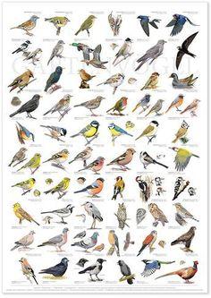 http://www.vogeltreff24.de/Voegel-bestimmen-Buch-CD-DVD/Voegel-bestimmen/Poster-Naturtafel-Gartenvoegel.html?gclid=CNuM3a-t6cwCFQso0wod5DIMgw Mehr