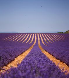 lavender in Provance