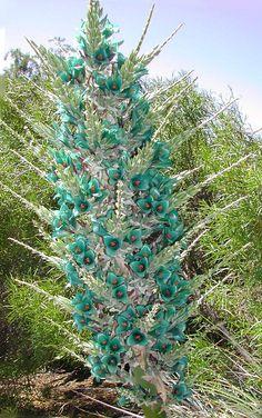 A Puya Turquesa ( P. berteroniana ) é uma bromélia terrestre das montanhas do Chile                                                                                                                                                                                 Mais